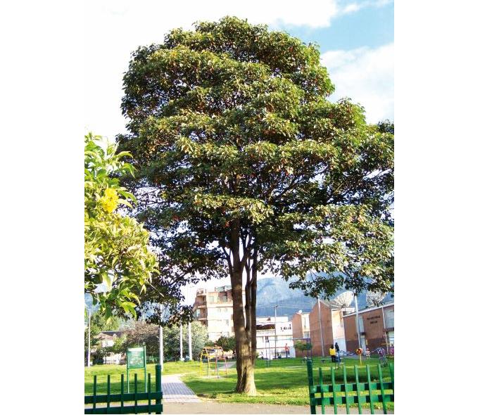 Imagen del árbol sangregado