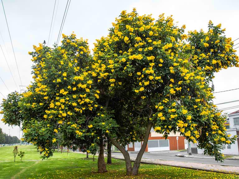 Imagen del árbol chicalá amarillo