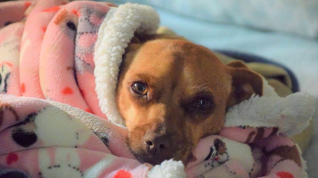 Imagen de un perrito envuelto en una cobija