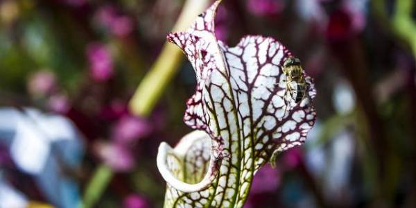Planta Carnívora - Foto: bogota.gov.co