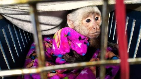 Mono macho cariblanco enjaulado - Foto: Secretaría Distrital de Ambiente