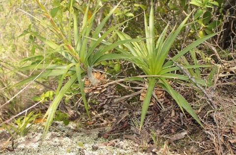 Una nueva especie vegetal nica en el mundo se encuentra for Arriendos en ciudad jardin sur bogota