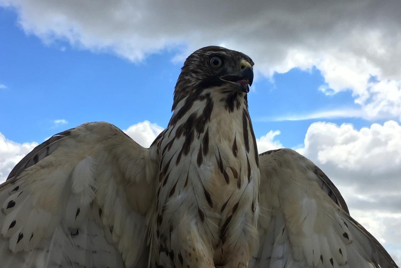 Imagen de un ave: Gavilán aliancho