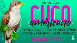 El cuco americano llega por esta época del año a Bogotá