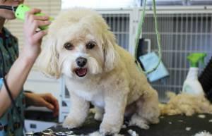 Trabajo para peluqueros caninos - Foto: Pixabay