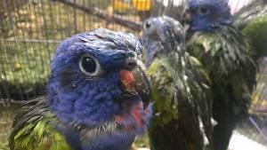 Loros cabeciazul uno de los tipos de aves que iba a ser comercializada - Foto: Secretaría de Ambiente
