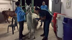Llama rescatada por el Dsitrito - Foto: Prensa Oficina de Protección y Bienestar Animal