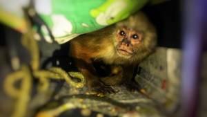 Primate hembra de especie cariblaca - Foto: Secretaría de Ambiente