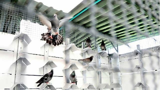 Las palomas de plaza recibirán atención adecuada por primera vez en Bogotá