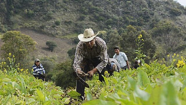 Campesinos de Cundinamarca abastecen a restaurantes y plazas de mercado.