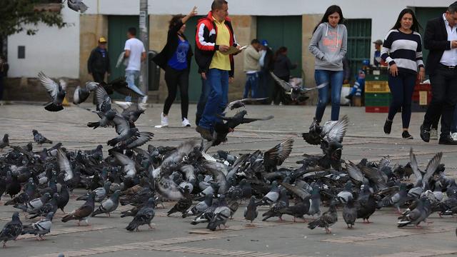 Sobrepoblación de palomas en al Plaza de Bolívar puede causar enfermedades - Foto: Alcaldía de Bogotá