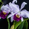 Las mejores orquídeas llegan a Bogotá - Foto: Jardín Botánico
