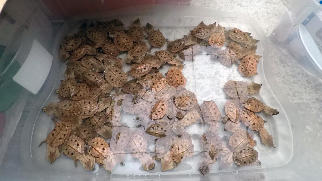 Incautan 1.300 tortugas - FOTO: Prensa Policía de Ambiente